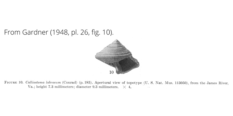 <i>Calliostoma labrosum</i> from Gardner (1948), pl. 26, fig. 10. USNM 113050. James River, Virginia.