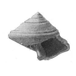 Calliostoma labrosum