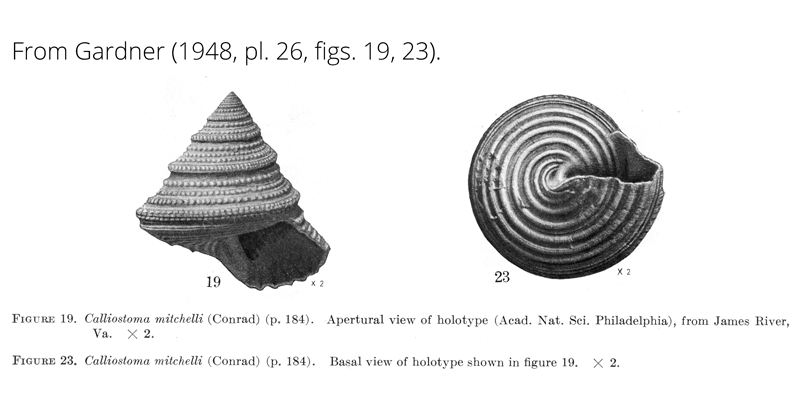 <i>Calliostoma mitchelli</i> from Gardner (1948), pl. 26, figs. 19, 23. Holotype, ANSP. James River, Virginia.