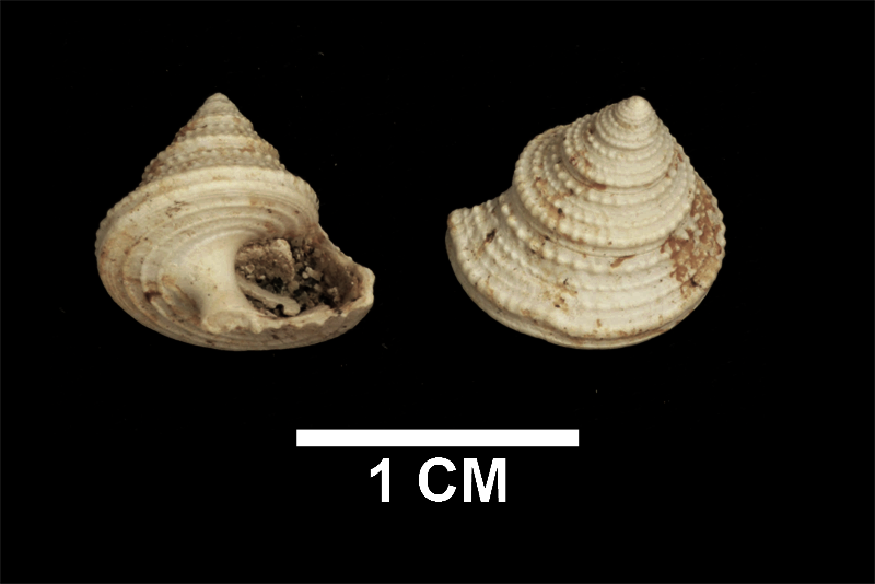 <i>Calliostoma mitchelli</i> from the upper Pliocene Yorktown Formation of Isle of Wight County, Virginia (SDSM 135255).