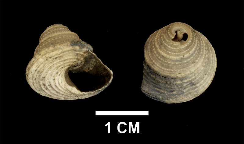 <i>Calliostoma mitchelli</i> from the upper Pliocene Yorktown Formation of Suffolk County, Virginia (SDSM 139687).