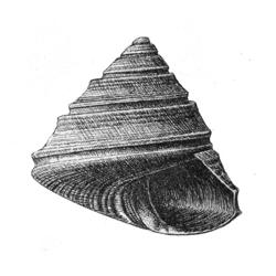 Calliostoma virginicum