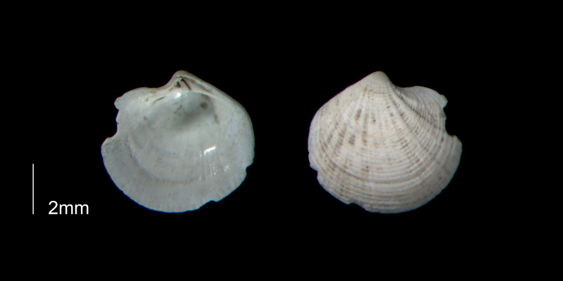 <i>Callucina keenae</i> from the Early Pleistocene Waccamaw Fm. of Brunswick County, North Carolina (PRI 70412-2).