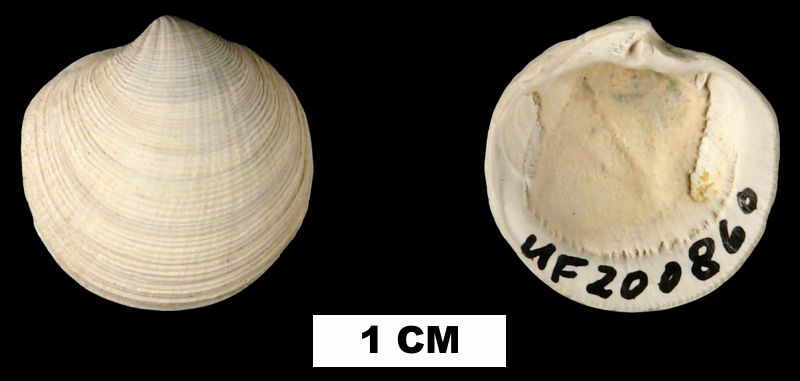 <i>Callucina keenae</i> from the Late Pliocene Tamiami Fm. (Pinecrest Beds) of Sarasota County, Florida (UF 200860).