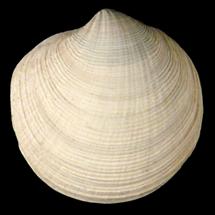 Callucina keenae