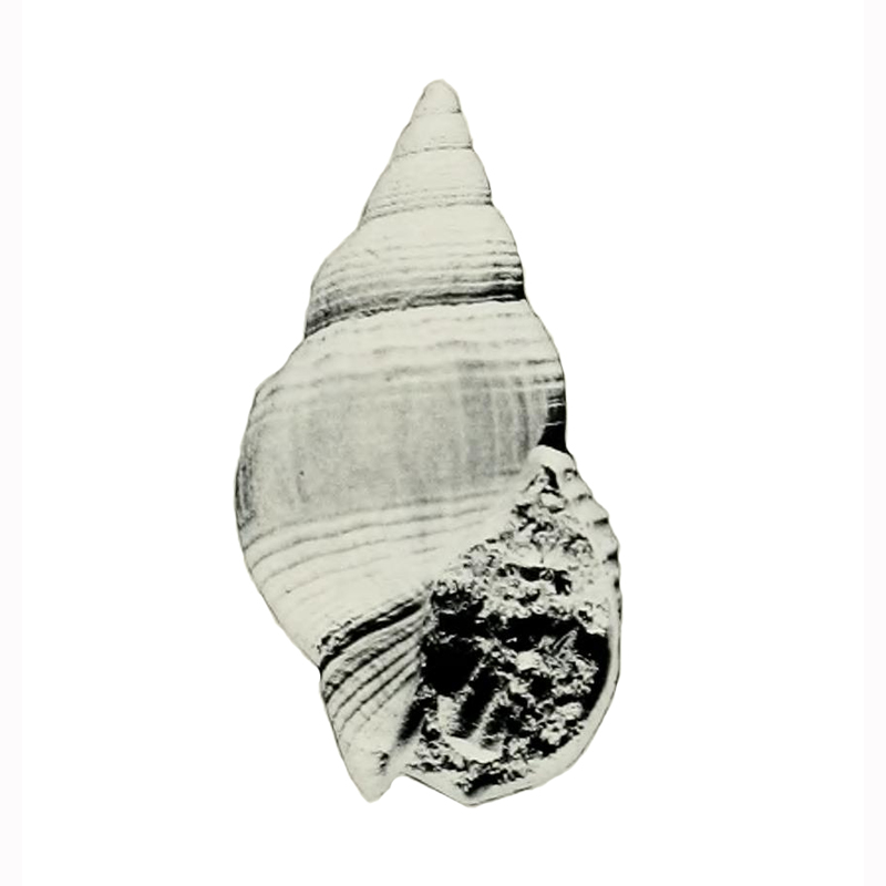 Specimen of <i>Calophos wilsoni</i> figured by Allmon (1990, pl. 11, fig. 14); 39.0 mm in length.