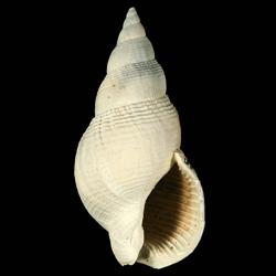Calophos wilsoni