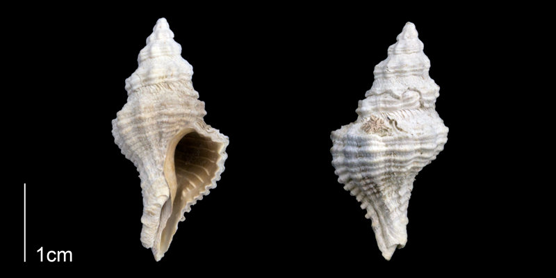 <i>Calotrophon ostrearum</i> from the Late Pleistocene Tamiami Fm. (Pinecrest Beds) of Sarasota County, Florida (PRI 70261).