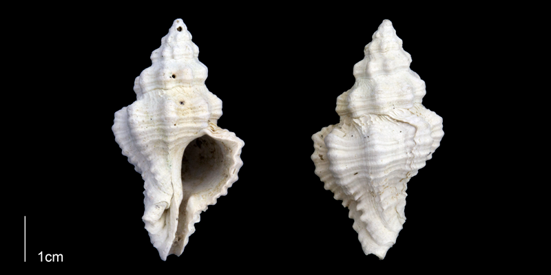 <i>Calotrophon ostrearum</i> from the Late Pleistocene Tamiami Fm. (Pinecrest Beds) of Sarasota County, Florida (PRI 70289).