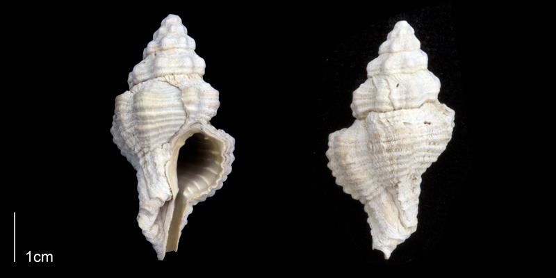 <i>Calotrophon ostrearum</i> from the Late Pleistocene Tamiami Fm. (Pinecrest Beds) of Sarasota County, Florida (PRI 70292).