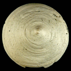 Calyptraea