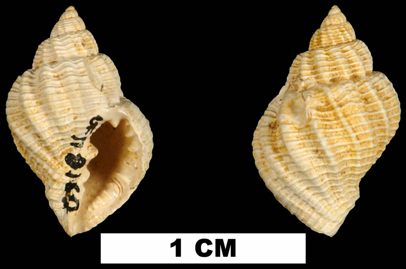 <i>Cancellaria aldrichi</i> from the Early Miocene Chipola Fm. of Calhoun County, Florida (UF 118160).