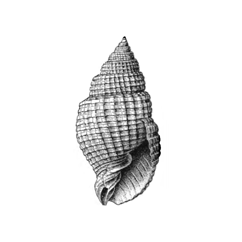 Specimen of <i>Cancellaria conradiana</i> figured by Dall (1889, pl. 3, fig. 13); 38.0 mm.