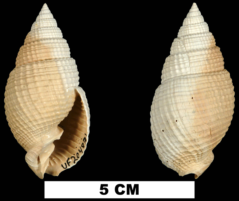 <i>Cancellaria conradiana</i> from the Early Pleistocene Caloosahatchee Fm. of Okeechobee County, Florida (UF 204831).
