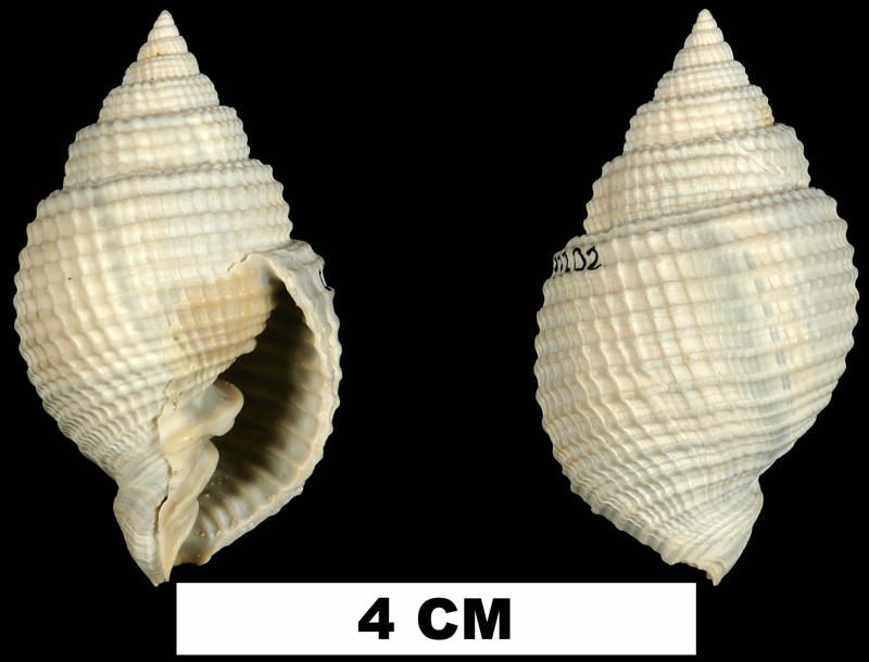 <i>Cancellaria reticulata</i> from the Middle Pleistocene Bermont Fm. of Palm Beach County, Florida (UF 243202).