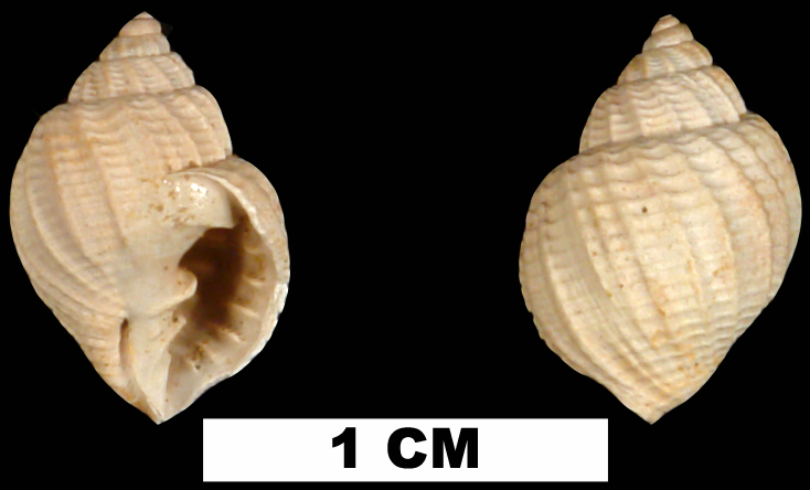 <i>Cancellaria waltoniana</i> from the Middle Miocene Shoal River Fm. of Walton County, Florida (UF 76210).