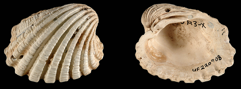 <i>Cardita olga</i> from the Late Pliocene Tamiami Fm. (Pinecrest Beds) of Sarasota County, Florida (UF 220908).