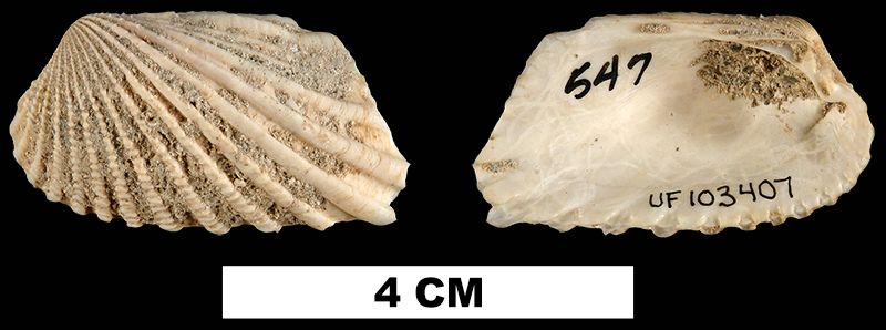 <i>Carditamera apotegea</i> from the Early Miocene Chipola Fm. of Calhoun County, Florida (UF 103407).