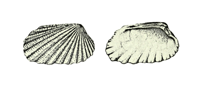 Specimen of <i>Carditamera arata</i> figured by Conrad (1832, pl. 5, fig. 1).
