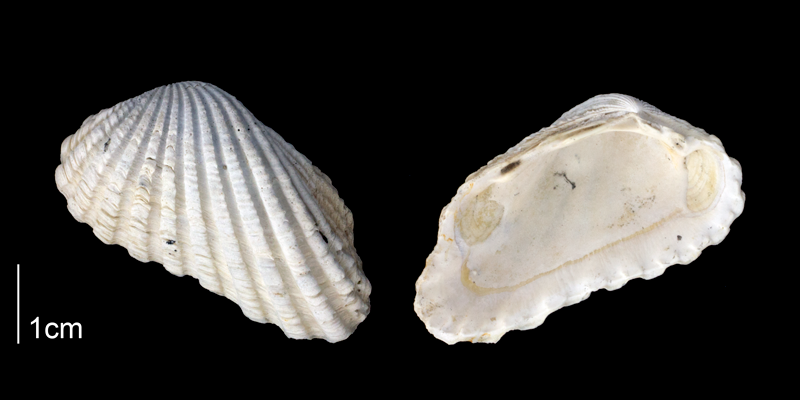 <i>Carditamera arata</i> from the Late Plicoene Tamiami Fm. (Pinecrest Beds) of Sarasota County, Florida (PRI 70174).