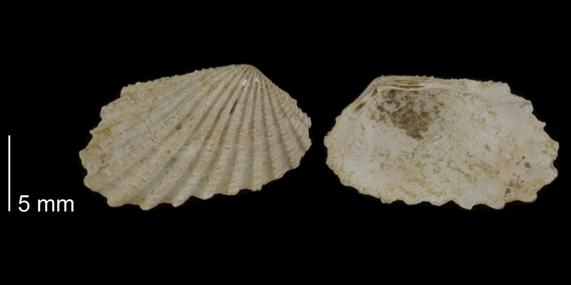 <i>Carditamera arata</i> from the Early Pleistocene James City Fm. of Beaufort County, North Carolina (PRI 70504).