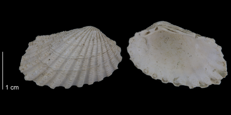<i>Carditamera arata</i> from the Early Pleistocene James City Fm. of Beaufort County, North Carolina (PRI 70522).