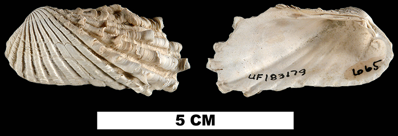<i>Carditamera dasytes</i> from the Late Pliocene Tamiami Fm.(Pincrest Beds) of Sarasota County, Florida (UF 183179).