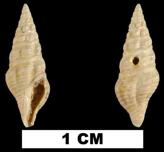 <i>Carinodrillia cymatoides</i> from the Early Miocene Chipola Fm. of Calhoun County, Florida (UF 94243).