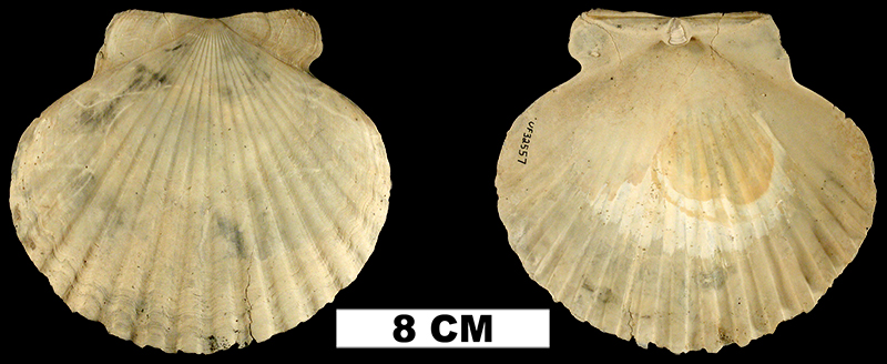 <i>Carolinapecten eboreus</i> from the Plio-Pleistocene (formation unknown) of Sarasota County, Florida (UF 32557).