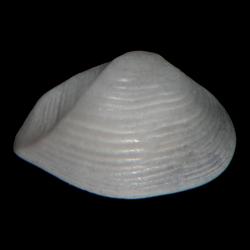 Caryocorbula auroraensis