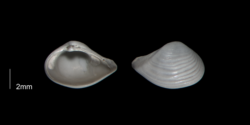 <i>Caryocorbula auroraensis</i> from the Early Pleistocene Waccamaw Fm. of Brunswick County, North Carolina (PRI 70393-2).