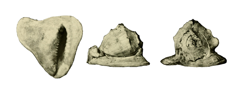 Specimen of <i>Cassis delta</i> figured by Parker (1948, pl. 6, fig. 1, 1a, and 1b).