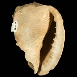 Cassis floridensis