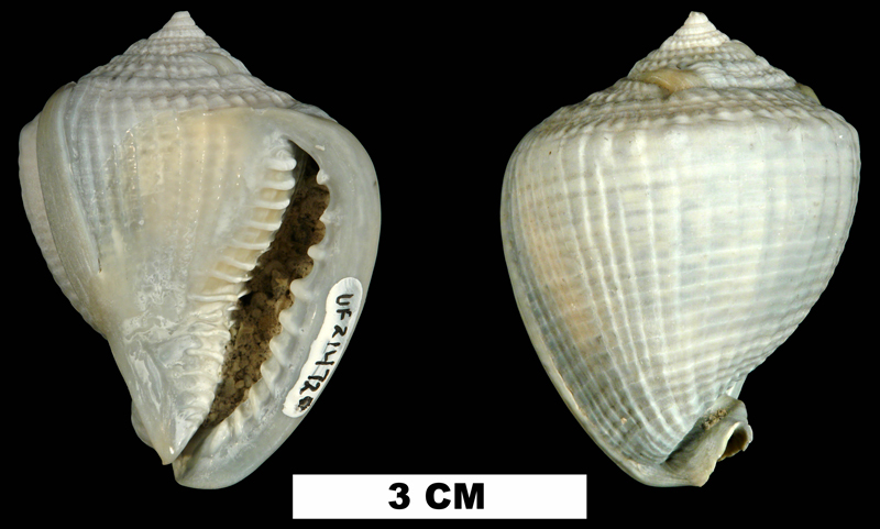 <i>Cassis madagascariensis</i> from the Middle Pleistocene Bermont Fm. of Miami-Dade County, Florida (UF 214720).