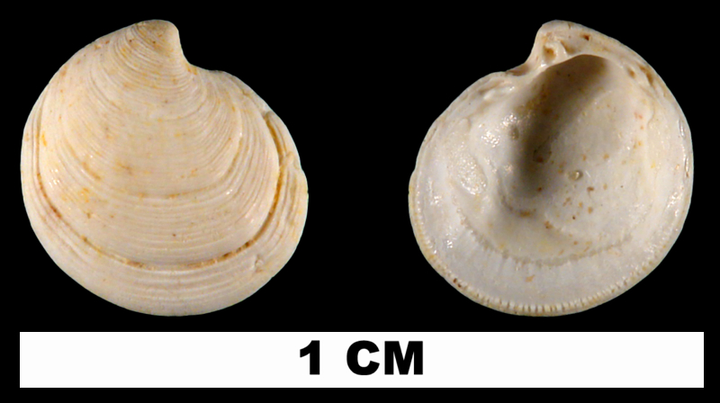 <i>Cavilinga blanda</i> from the Late Pleistocene Fort Thompson Fm. of Sarasota County, Florida (UF 180880).