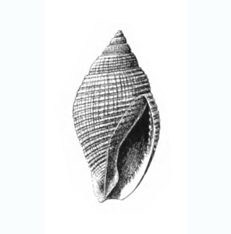 Specimen of <i>Celatoconus nux</i> figured by Dall (1892, pl. 13, fig. 6); 18.0 mm in length.