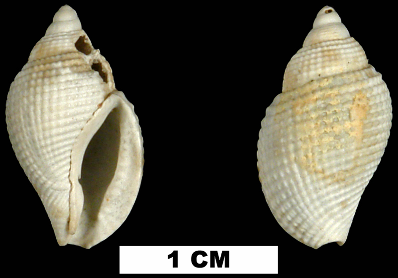 <i>Celatoconus nux</i> from either the Late Pliocene Tamiami Fm. (Pinecrest Beds) or Early Pleistocene Caloosahatchee Fm. of Okeechobee County, Florida (UF 247858).