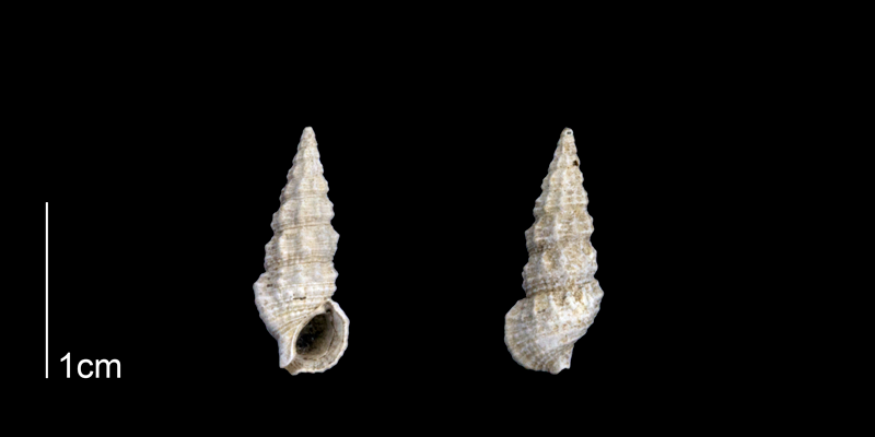 <i>Cerithium muscarum</i> from the Late Pleistocene Tamiami Fm. (Pinecrest Beds) of Sarasota County, Florida (PRI 70255).
