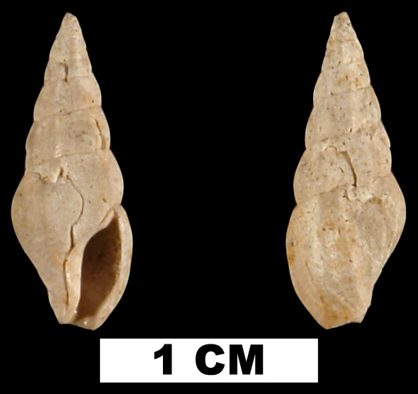 <i>Cerodrillia ebur</i> from the Early Pleistocene Caloosahatchee Fm. of Pinellas County, Florida (UF 137456).