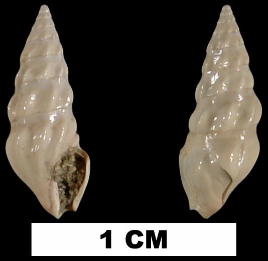 <i>Cerodrillia prion</i> from the Jackson Bluff Fm. of Leon County, Florida (UF 68867).