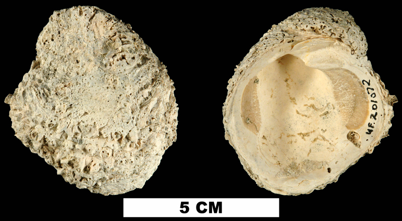 <i>Chama chipolana</i> from the Early Miocene Chipola Fm. of Calhoun County, Florida (UF 201072).