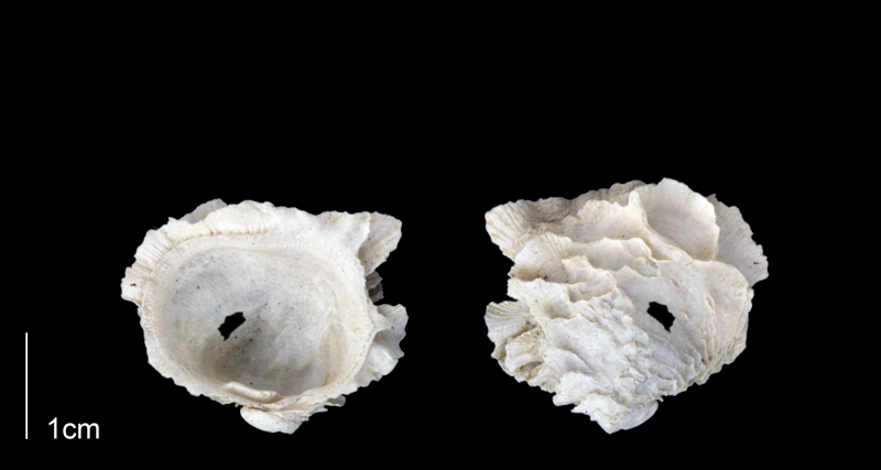 <i>Chama corticosa</i> from the Late Pliocene Tamiami Fm. (Pinecrest Beds) of Sarasota County, Florida (PRI 70158).