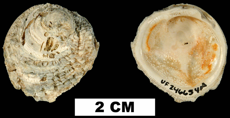 <i>Chama emmonsi</i> from the Late Pliocene Jackson Bluff Fm. of Leon County, Florida (UF 246654).