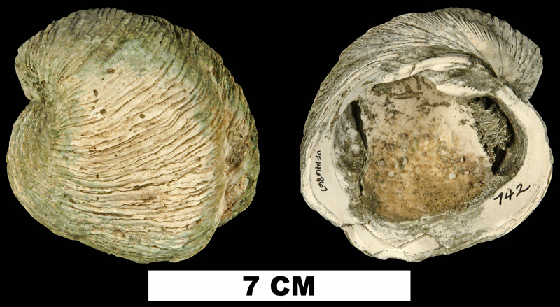 <i>Chama heilprini</i> from the Late Pliocene Tamiami Fm. (Pinecrest Beds) of Broward County, Florida (UF 146867).