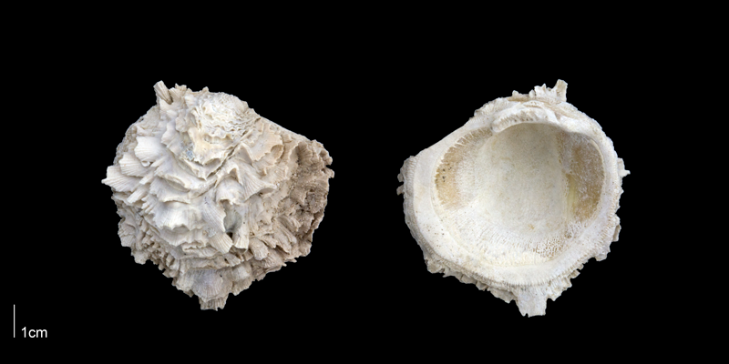 <i>Chama willcoxi</i> from the Late Pliocene Tamiami Fm. (Pinecrest Beds) of Sarasota County, Florida (PRI 70172).