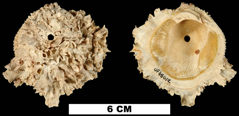 <i>Chama willcoxi</i> from the Late Pliocene Tamiami Fm. (Pinecrest Beds) of Sarasota County, Florida (UF 65012).