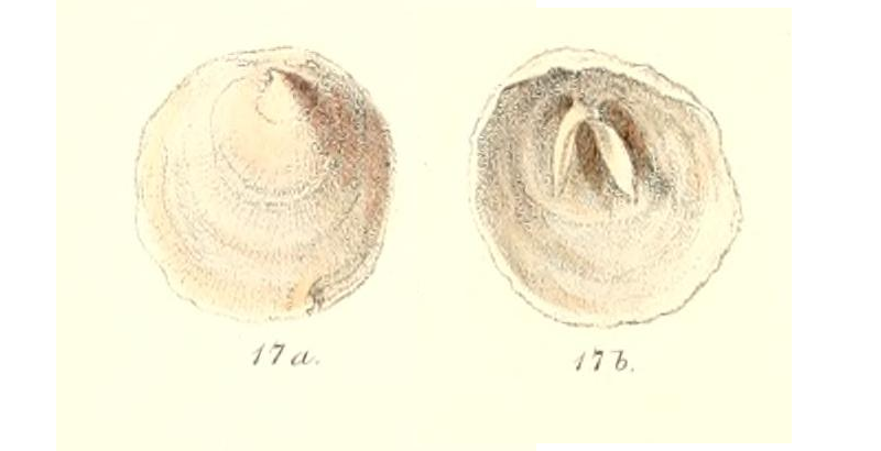 Specimen of <i>Cheilea uncinata</i> figured by Reeve (1859, pl. 5, fig. 17a and 17b); no scale.