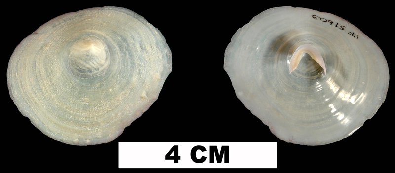 <i>Cheilea equestris</i> from the Middle Pleistocene Bermont Fm. of Palm Beach county, Florida (UF 51603).