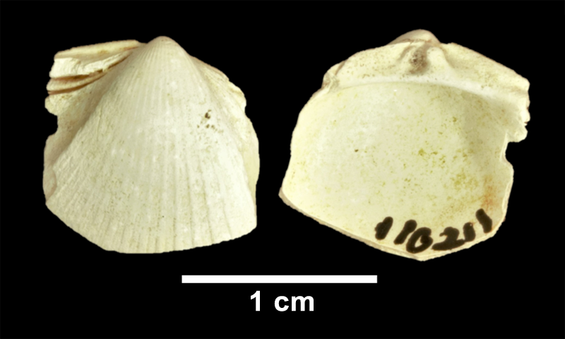 <i>Chesacardium laqueatum</i> from the Late Pliocene Yorktown Fm. of Frederick County, Virginia (SDSM 110211).