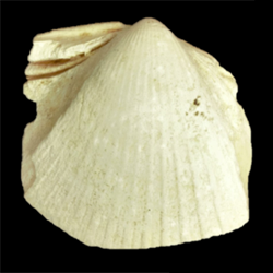 Chesacardium